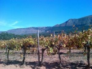 Vignes de vin de Constantia en Afrique du Sud près de Le Cap
